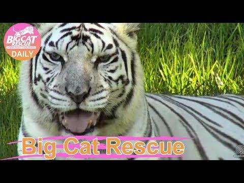 Zabu Tiger Nearly Drowning