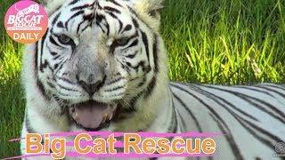 Big Cat Rescue~ Zabu Tiger Nearly Drowns 10.8.2017