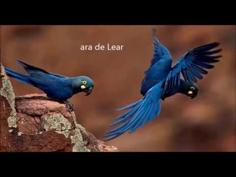 Les oiseaux d'Amazonie, par Alexandre et Louis (209)