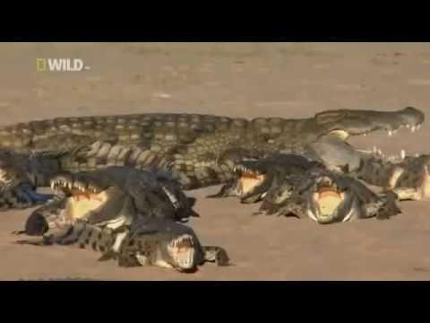 Разборки Крокодилов! Настоящие Монстры! НЕ ХОДИТЕ ДЕТИ В АФРИКУ ГУЛЯТЬ National Geographic