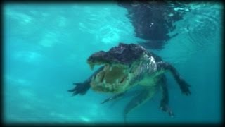 Swimming with Alligators 02   Time Lapse