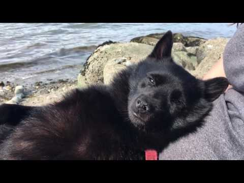 Schipperke dog tired after a long swim