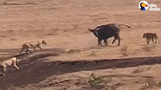 Buffalo Fights Off Lions To Protect Her Baby