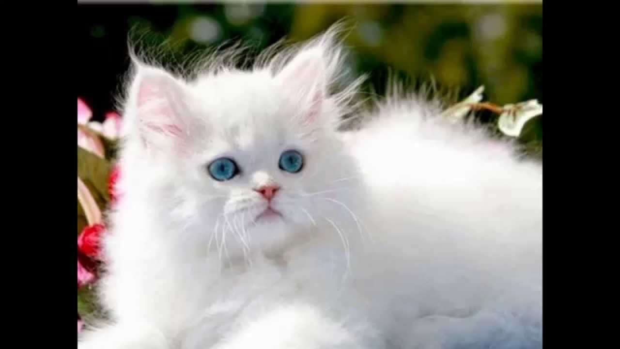 World Top TEN Most Expensive Cat Breeds in the World