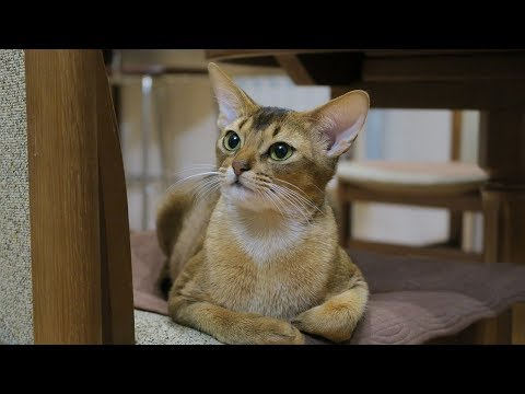 How to Care for Abyssinian Cats - Training Your Cat