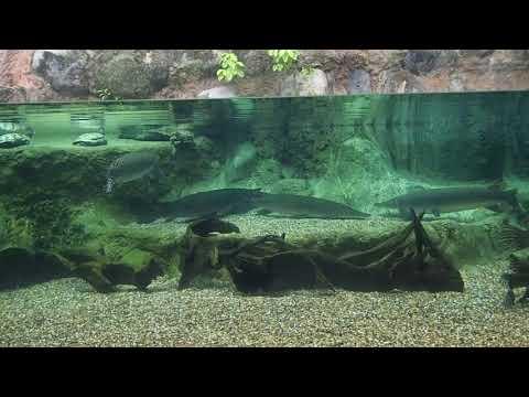 97 Atractosteus spatula Alligator gar Zoo Singapore 2017