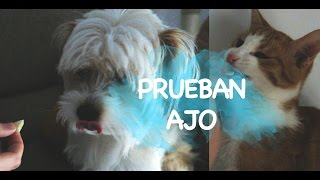 Video PERRO Y GATO PROBANDO AJO POR PRIMERA VEZ download MP3, 3GP, MP4, WEBM, AVI, FLV Oktober 2018