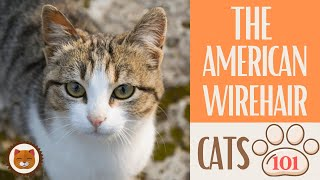 Cats 101  AMERICAN WIREHAIR  Top Cat Facts about the AMERICAN WIREHA