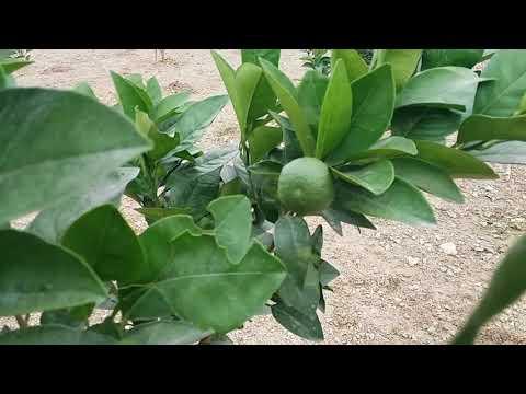 Malta Bagan Bogra .Bangladesh 01726-920814