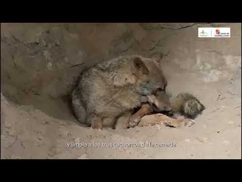 """Graban el parto de Jara, la loba """"adoptada"""" al otro lado de la frontera ourensana"""
