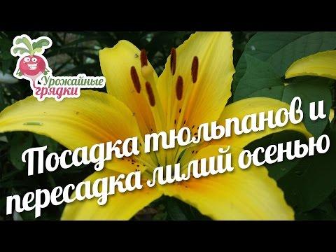 Посадка тюльпанов и пересадка лилий  осенью #urozhainye_gryadki