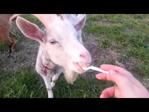 funny:Goat eating cake with fork!! Funny animals fail