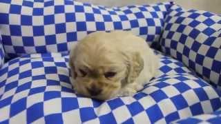 アメリカンコッカースパニエル子犬情報は→ http://passerellewan.jp/pup...