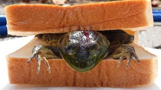 【特定外来生物】釣れた「巨大カエル」を挟んで食べたら絶品だった!!!