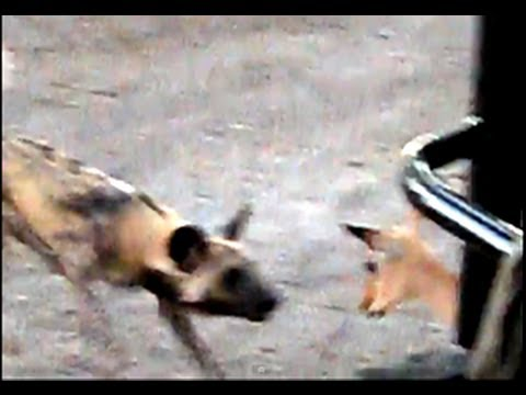African Painted Dogs Kill without mercy - Vicious Dogs!