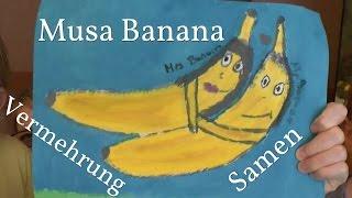 Bananen vermehren, durch Samen Musa