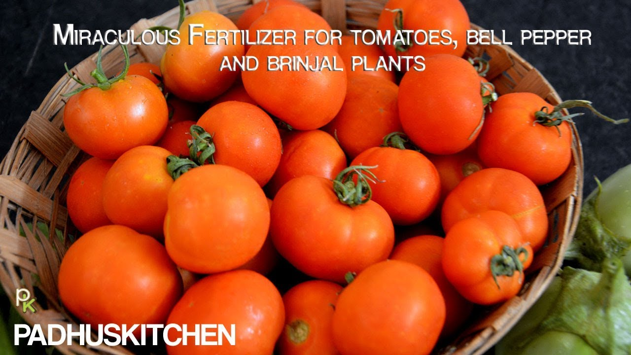 Miraculous Fertilizer for Tomato-Brinjal Plants-Homemade Fertilizer