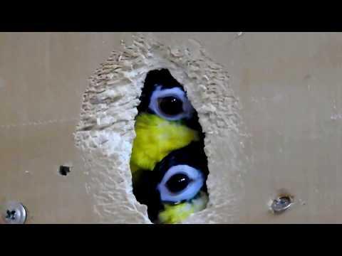 Black headed caiques breeding pair