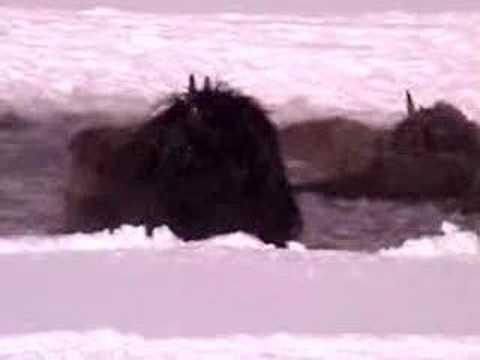 Yellowstone Bison Hazing