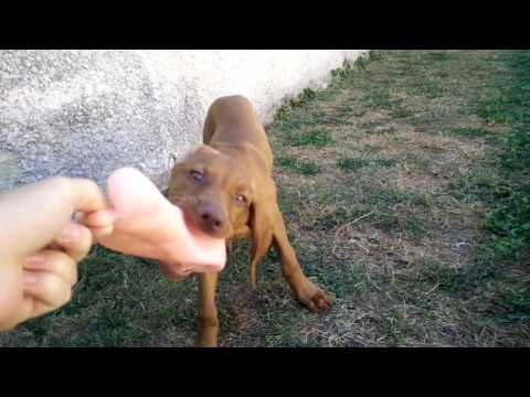 Malko the Vizsla puppy [2-3 month] Part 1