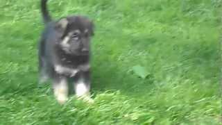 German Shepherd Puppies, For Sale, Long Island,ny 017.avi