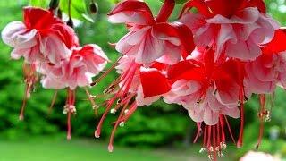 видео Цветок Фуксия. Магические свойства