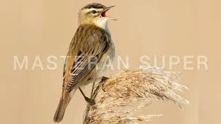 Download Mp3 Masteran Mantaaap Suara Burung Sedge Warbler