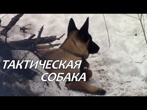 Тактическая собака. Бельгийская овчарка (малинуа). Tactical Dog - Belgian Malinois.