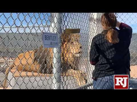 Lion Habitat Ranch In Henderson NV Also Houses Painting Giraffe