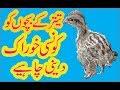Irani Teetar Chicks Ko Konsi Feed Deni Chaheye Best Feeding Information In Urdu Hindi
