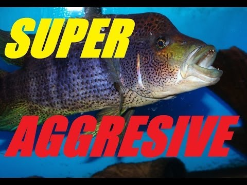 Super Aggressive Fish  Update on the Big Bad Wolf Cichlid Parachromis dovii