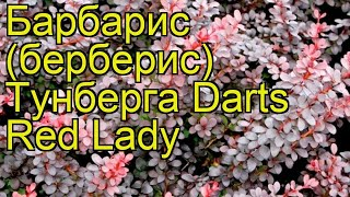 видео Барбарис Тунберга Darts Red Lady