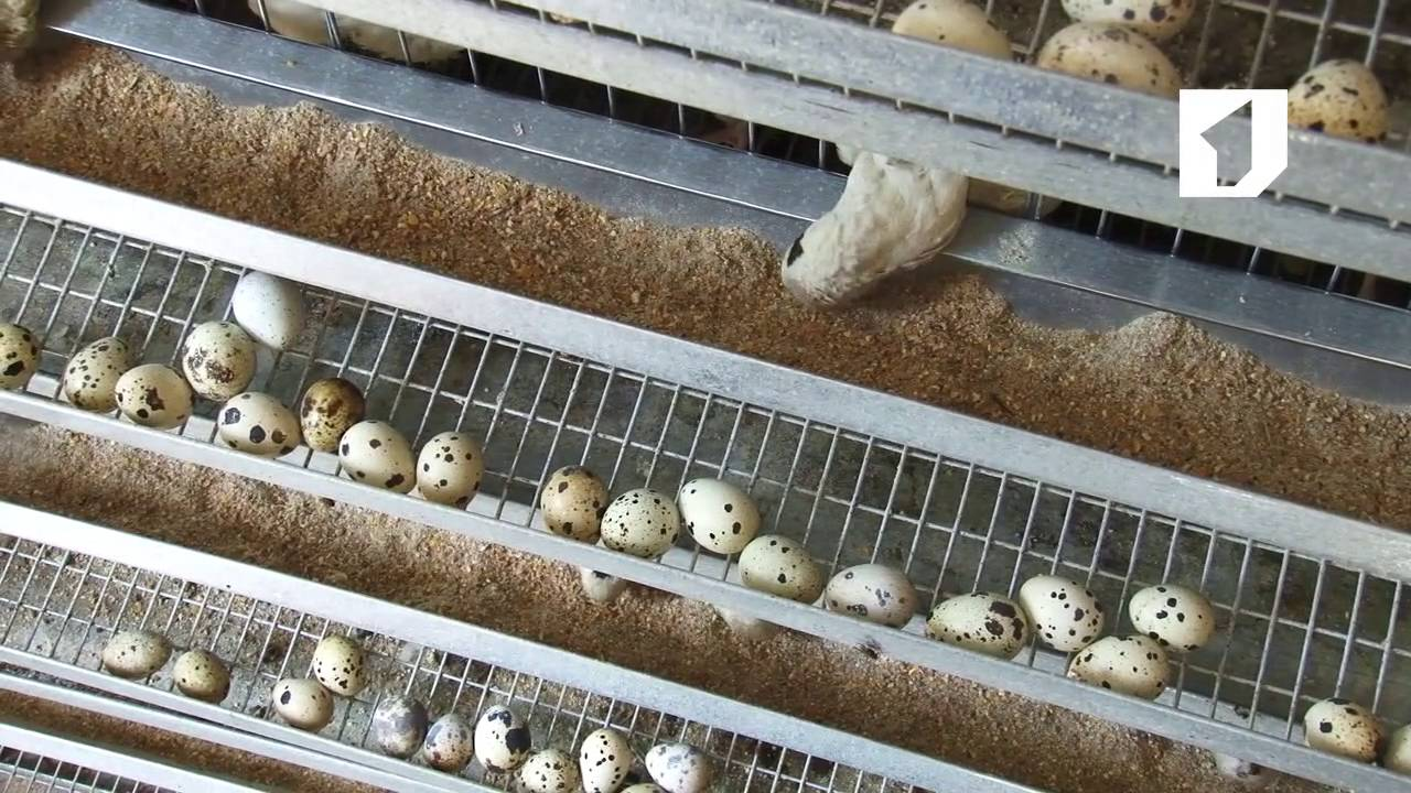 Перепелиная ферма – успешный бизнес
