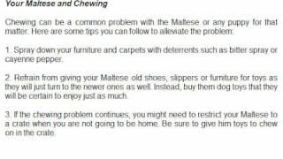 Maltese Pup - Tips For Training.flv