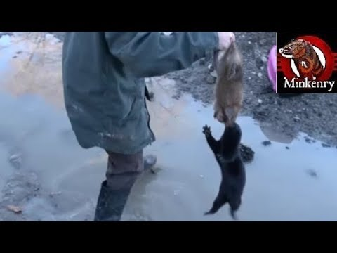 Things got a little CRAZY! Muskrat hunt with mink and dog.