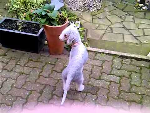 My Bedlington Terrier playing chase with my pet rabbit. WAIT FOR IT!!
