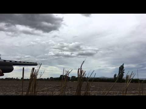 Pigeon shooting in New Zealand.