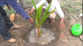 Coconut planting method_Tiptur