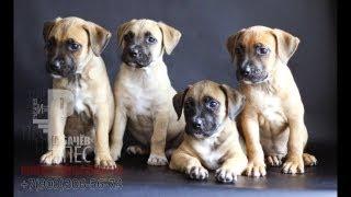 Продаются щенки Стаффорда 1,5 месяца. Рыбачёв и Пёс. (это видео 2012 года)
