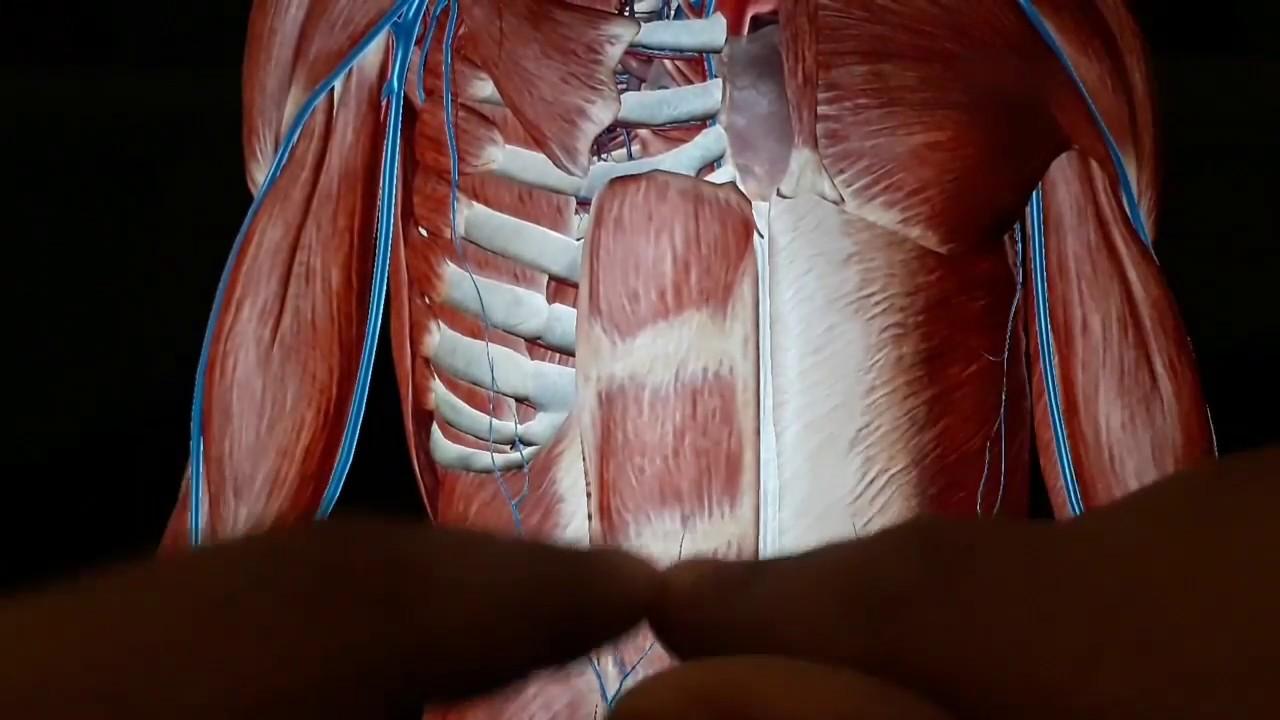 Clinical Anatomy - Anterior Abdominal Wall - Rectus Abdominis ...