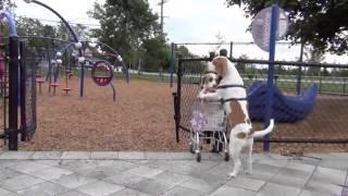 Chó mẹ dẫn con đi chơi công viên như người
