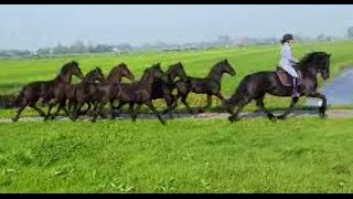 Bring Royal Friesian horses to the pasture. It Swarte Goud!