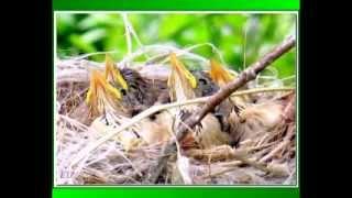 Танго соловьиной семьи