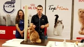 Charismatic kurilian bobtail at cat show