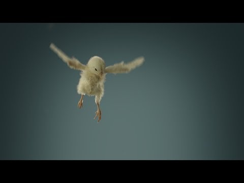 PeTA - Flying Chicks