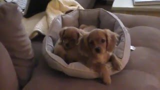 My Ruby Cavalier King Charles Spaniel Puppies