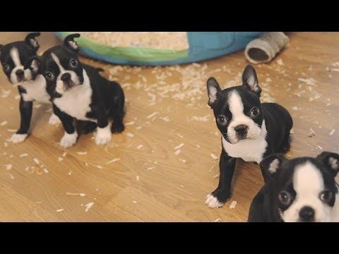 Boston Terrier Puppies - Week 6