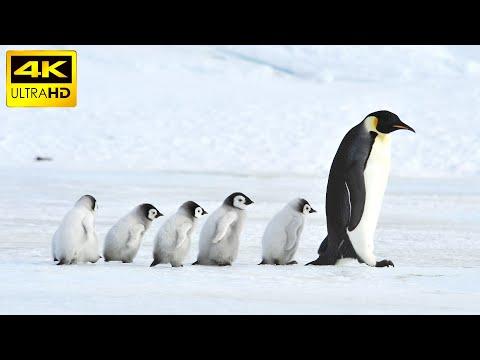 Penguins in 4K