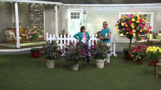 Cottage Farms Dazzling Design 3-piece Tricolor Butterfly Bush on QVC