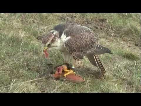 Flying Zarbu the Saker Falcon